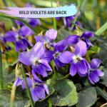 Wild-Violets-Green-Velvet