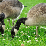 goose-control